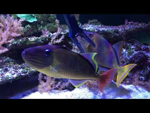 Hair Algae In The Triggerfish Tank!!!