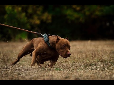 top-5-most-dangerous-dog-breeds-in-the-world