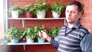 Выращивание клубники в домашних условиях: на балконе, подоконнике, зимовка, видео