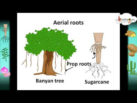 Scinece - Root system and root modifications – Hindi