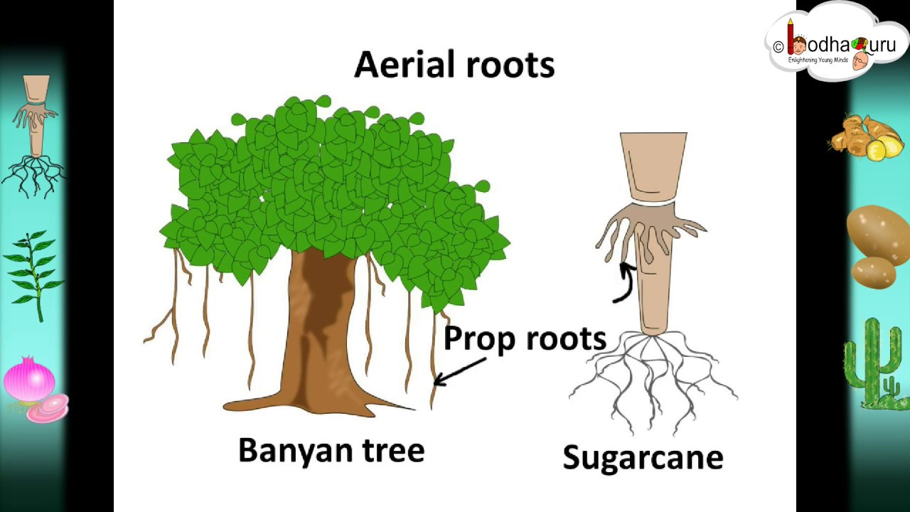Scinece Root System And Modifications Hindi Youtube This Diagrams Shows The Annual Rings Of A Tree Trunk
