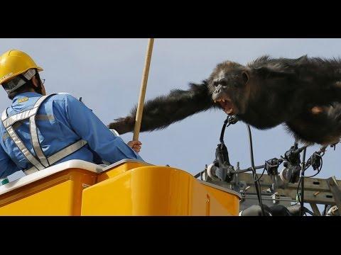 Wild Chimp Escape, Chase CAUGHT ON CAMERA