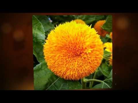 Однолетние цветы для дачи, цветущие все лето 47 фото