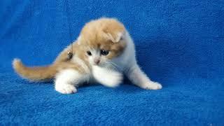 Шотландский вислоухий котенок Купить шотландского котенка