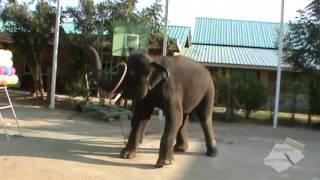 Шоу слонов в Таиланде. Грация и обаяние.