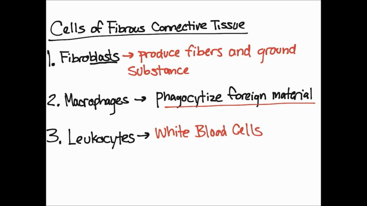 Cells Of Fibrous Connective Tissue Youtube