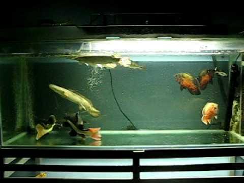 my predator fish tank   YouTube
