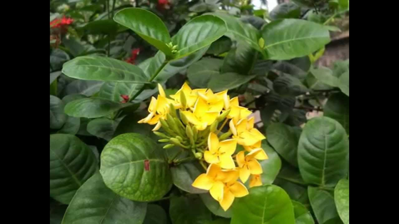 Beautiful Yellow Ixora Flowers Plant Garden In Sri Lanka Village