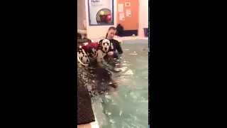 More Puppy Swims (dalmatian Puppy)