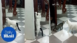 Clever cat opens door for friend - Daily Mail
