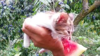 котенок ест арбуз| kitten eats watermelon