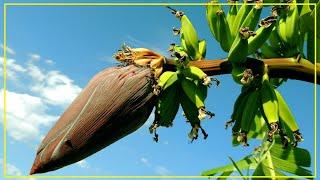 Los Plátanos Están al Borde de la Extinción Según Biólogos