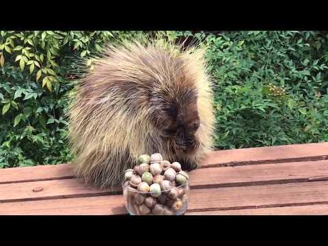 Teddy Bear the Porcupine Tries An Acorn
