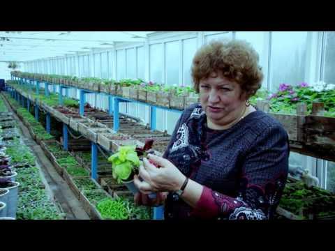 Выращивание колеусов рассадой из семян