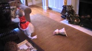 Shih Tzu Sophie Gets An Unexpected Present