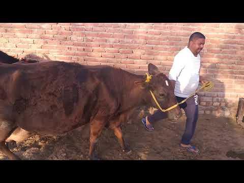 #Mauke#par#prize#less#ho#jayega (sale)cow and katti 07009492709(22_3_2019)👍👍👌👌👌👌