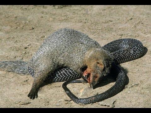 Snake vs Mongoose ⇉ Fox vs King cobra vs honey badger vs Squirrel ⇉ Animals attack compilation
