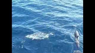 Video Dauphins Carbet Martinique