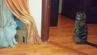 Знакомство кошек