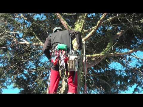 Berühmt Professionelle Baumarbeiten beim Fällen einer 25 m hohen Thuja #GH_54