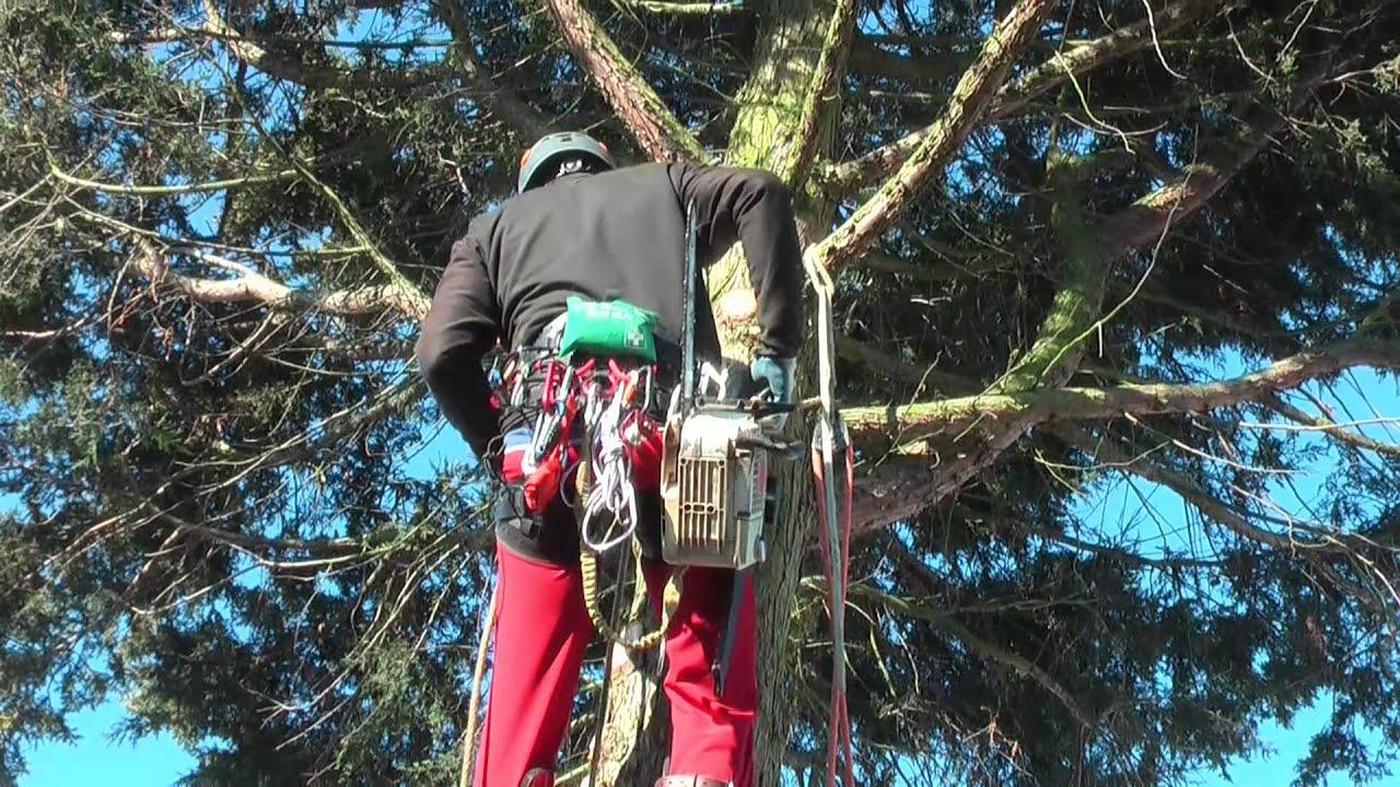 professionelle baumarbeiten beim fällen einer 25 m hohen thuja - youtube
