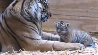 トラの赤ちゃん(スマトラタイガー)はお母さんに体をきれいにしてもら...