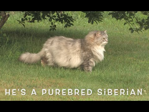 The Boo Boo Movie (Purebred Siberian Cat)