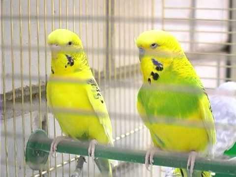 знакомство волнистых попугайчиков купили мальчика