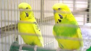 Волнистые Попугайчики: Чешская Порода . Все О Домашних Животных.