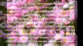 Цветы для вашего сада-Акроклиниум розовый