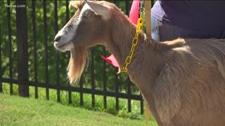ATLANTA, GEORGIA: Crime Goats help clear space for park