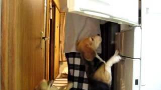 冷蔵庫に向かって飛び掛ります ゴハンが入っているところ、よく知ってま...