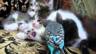 Кошки. Приколы. Попугай и котята.
