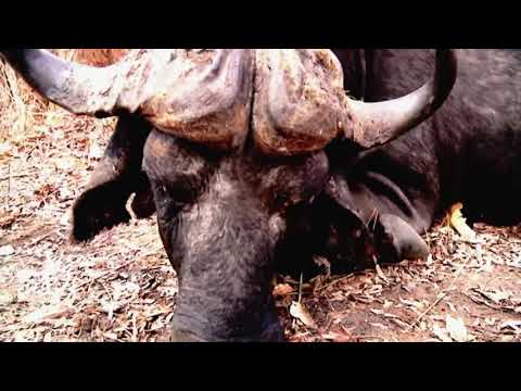 On the Edge of Danger-Hunting Africa's Dangerous Game-Diizche Safari Adventures Clip