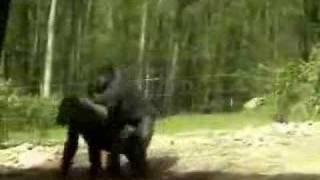 Gorilla Love