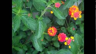 Invasion of the Lantana flowers