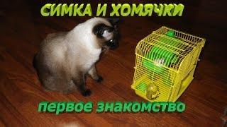 Симка и хомячки, первое знакомство/ The cat and the hamsters, the first acquaintance