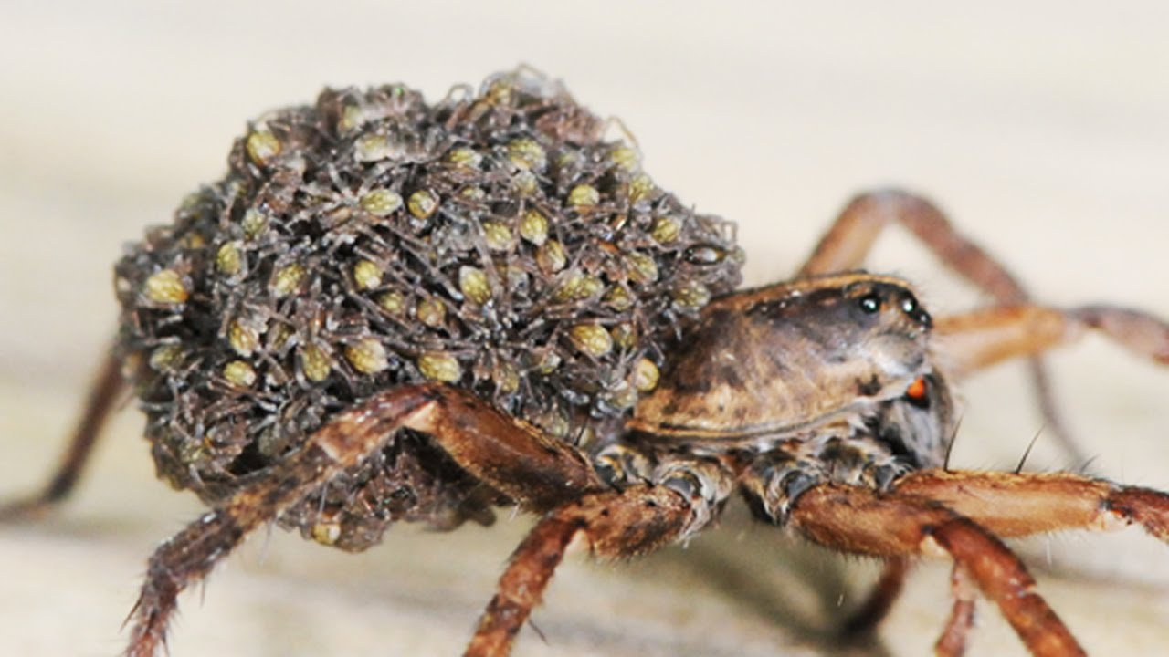 Wolf Spider Babies Trypophobia Trigger Youtube