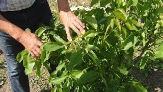 Выращивание грецкого ореха в фермерском хозяйстве