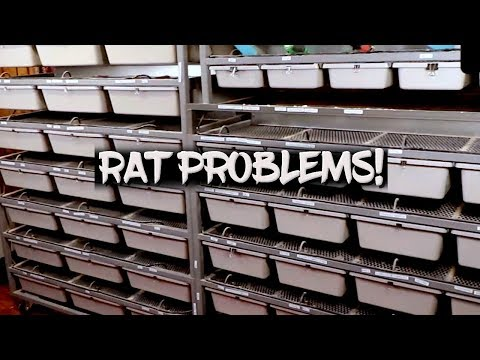 Breeding Rats And Mice - My Problems!