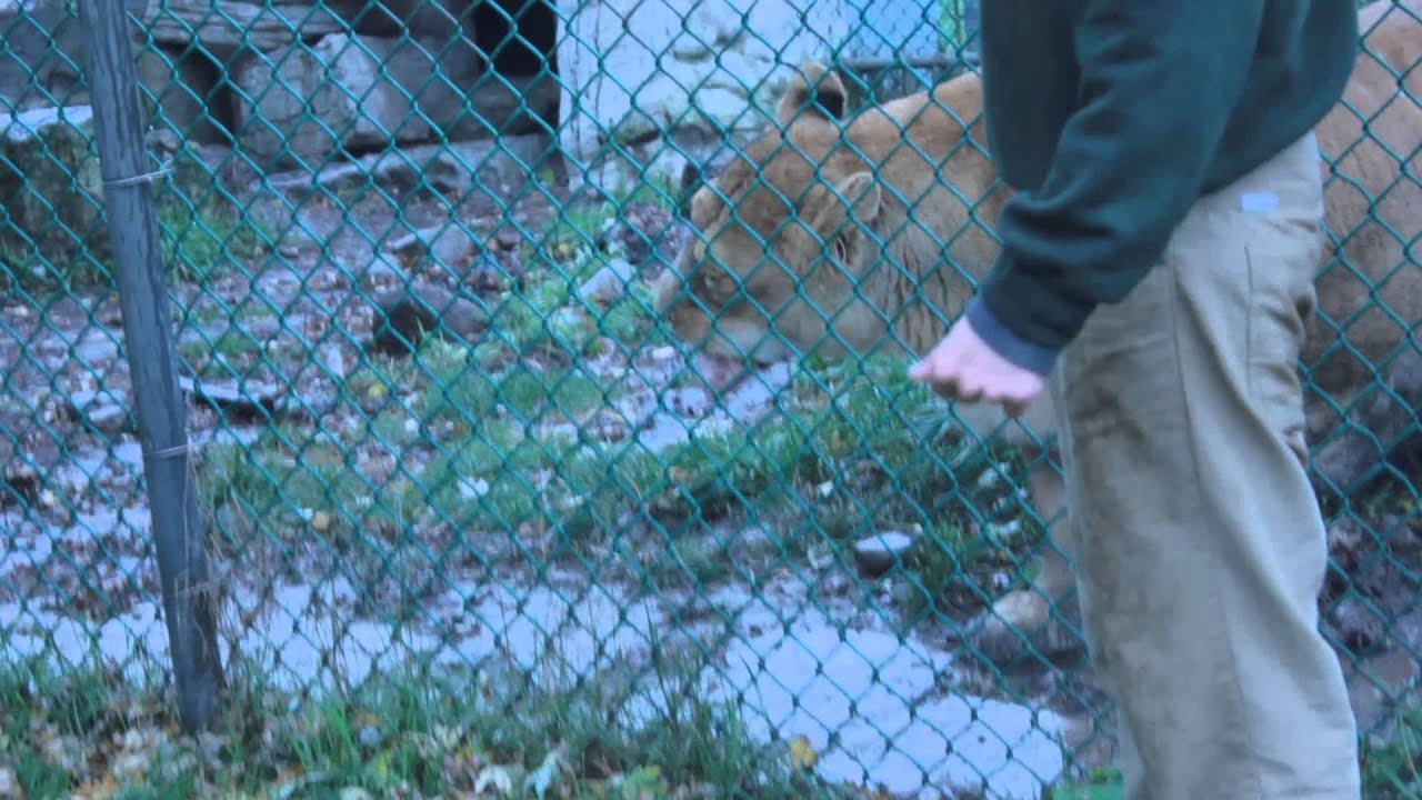 African Lioness Anxious for Food - At Jungle Cat World Zoo - YouTube