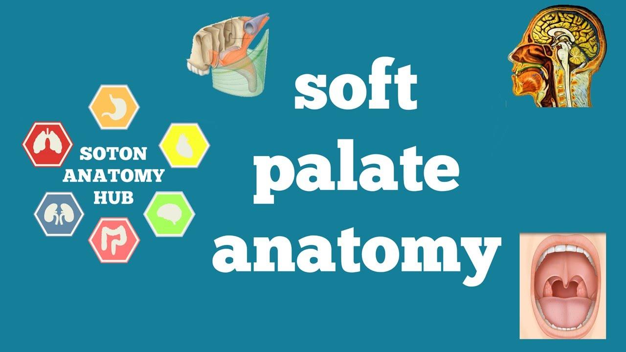 Soft palate anatomy - YouTube