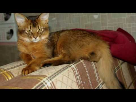 Somali cat History,Personality,Health,Care