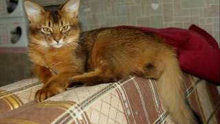 Somali cat History,Personality,Health,Care