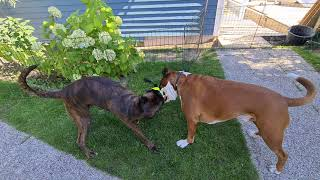 Tuesday update on boxer Rex and Sammie and the new kitchen.