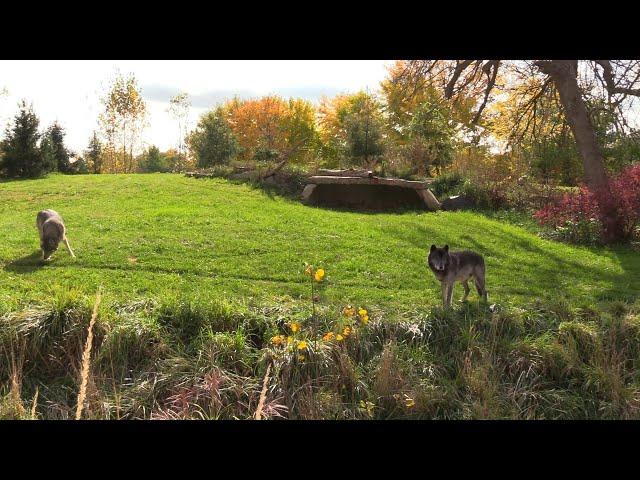Detroit Zoo   Cotton Family Wolf Wilderness (Virtual Habitat Chats)