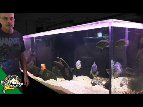 Fish Room Tour - 1000 Gallon Aquarium, Central and South American Cichlids. Dovii Cichlid, Midas