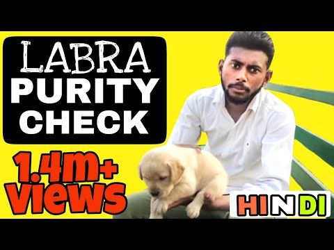 How to Check Labrador Puppy Purity in hindi || Pure Labra || Pure breed ||