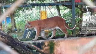 Download Video KUCING EMAS SUMATERA - Medan zoo MP3 3GP MP4