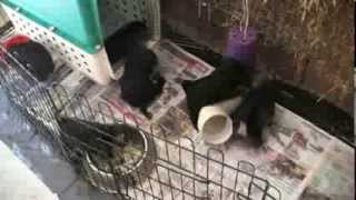 4 Week Old Miniature Schnauzer Puppies Playing